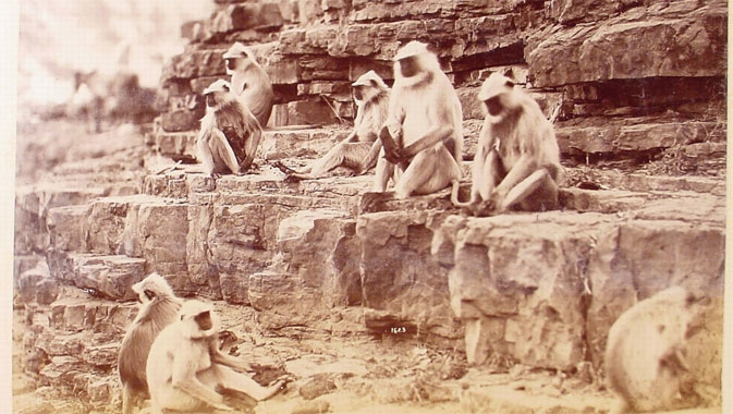 Monkeys at the temple at Onkarjee, Raja Deen Dayal